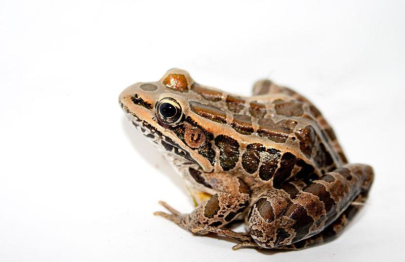 Pickerel Frog (Brian Gratwicke)