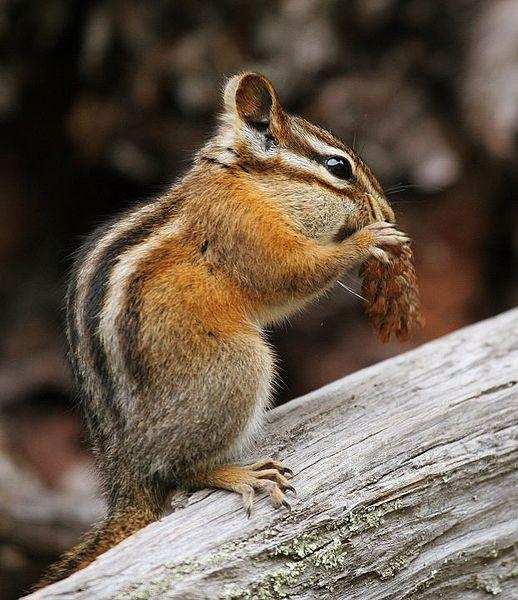 Chipmunk (Phil Armitage)