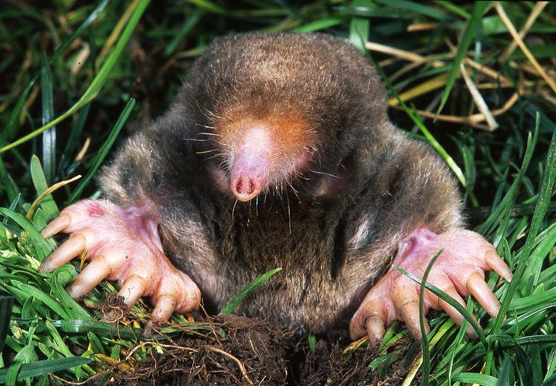 Eastern Mole (Ken Catania, Vanderbilt)