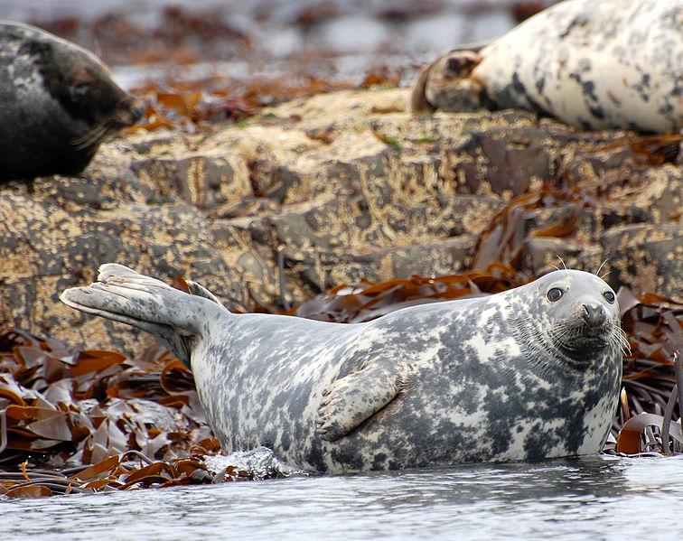 Grey Seal (Steenbergs)