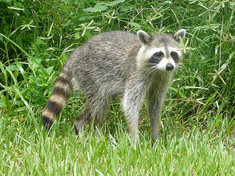 Raccoon (Bastique)