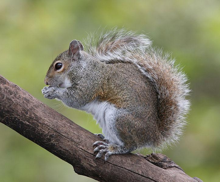 Squirrel (Tom Friedel)