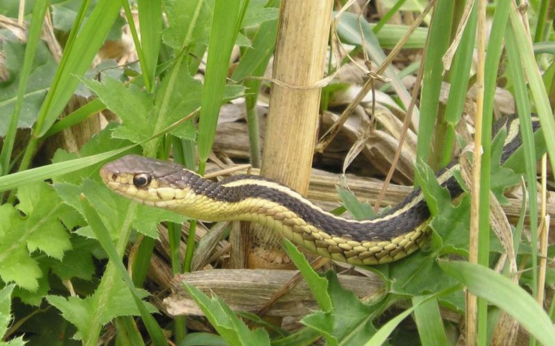 Garter Snake (Blaine Hansel)
