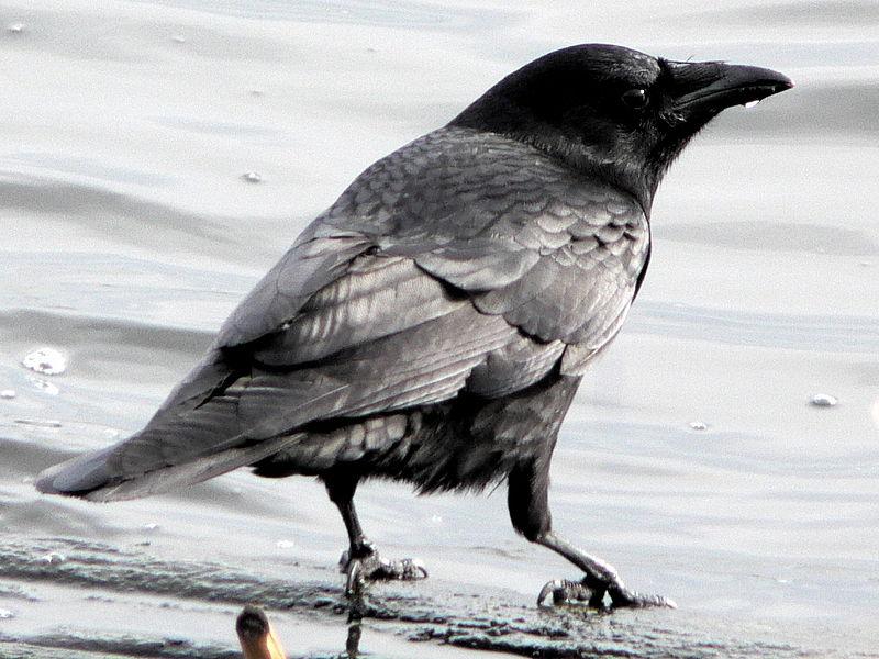 American Crow (Walter Siegmund)