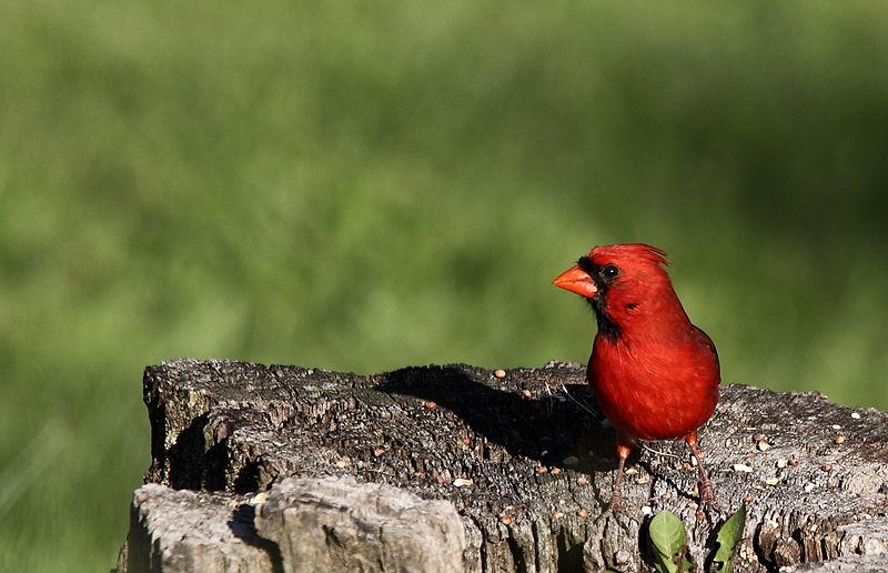 Cardinal (Forest Wander)