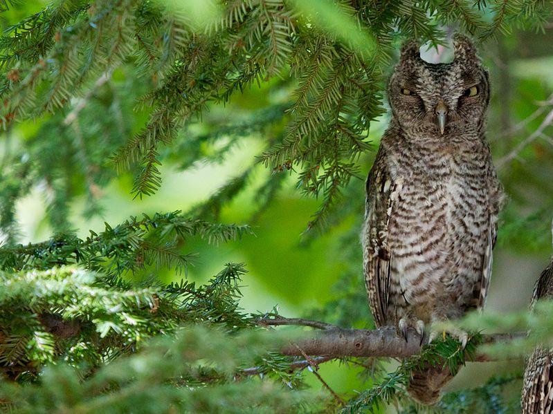 Eastern Screech Owl (Matt MacGillivray)