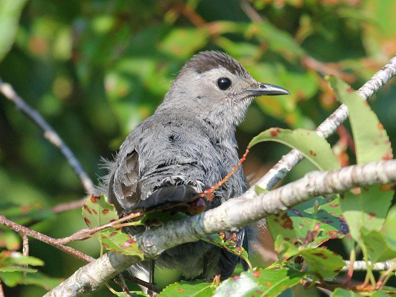 Gray Catbird (Dick Daniels)