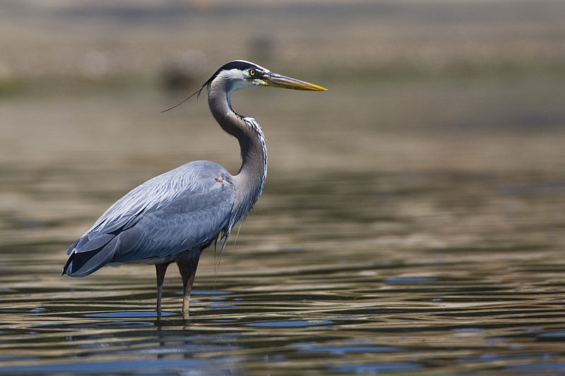 Great Blue Heron (Mike L. Baird)