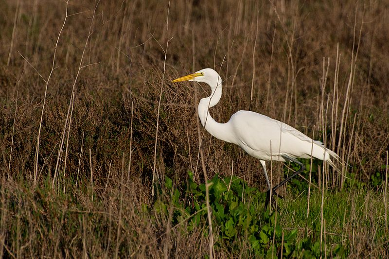 Great Egret (Don DeBold)