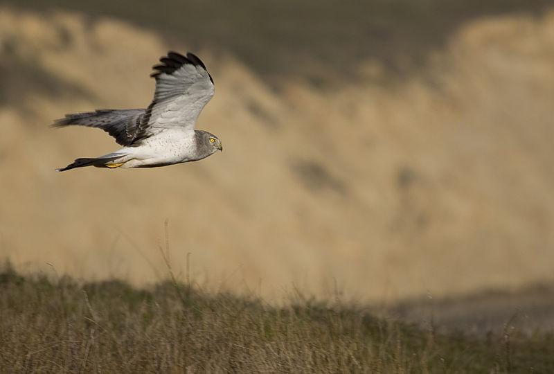Harrier Hawk (Paulo Philippidis)