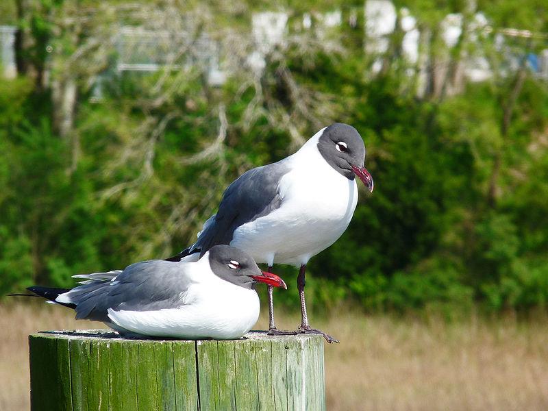Laughing Gull (Jacques Nyemb)