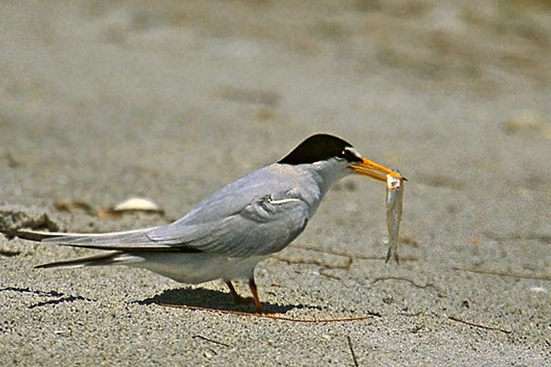 Least Tern (Peter Wallack)