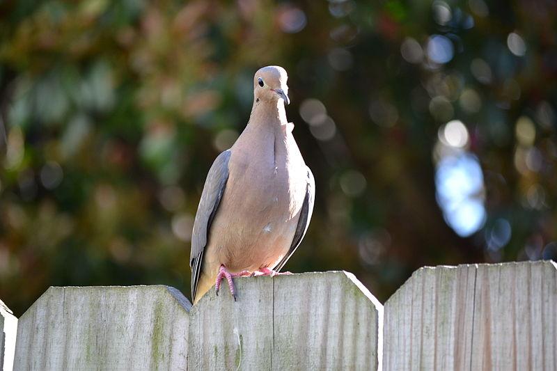 Mourning Dove (Tony Alter)