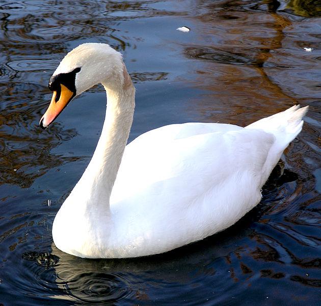 Mute Swan (Paul Boxley)