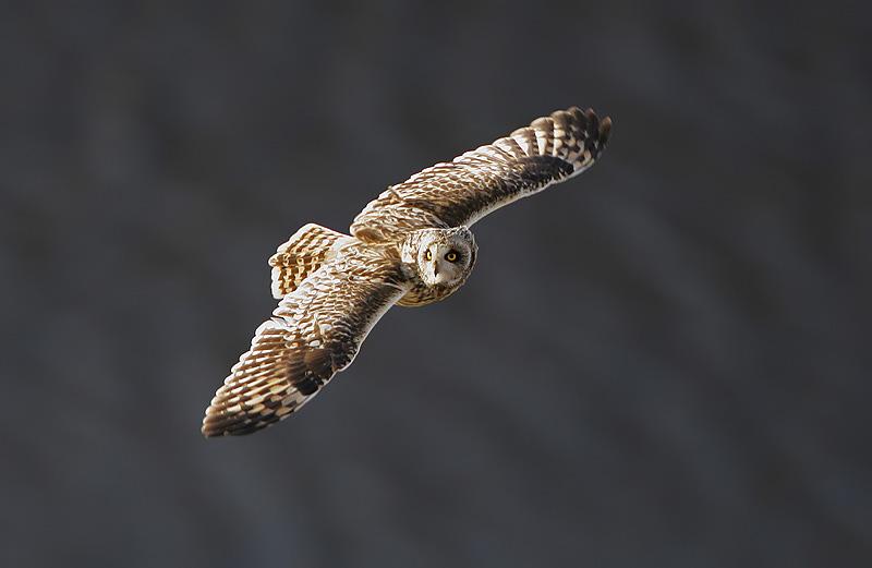 Short-eared Owl (Steve Garvie)