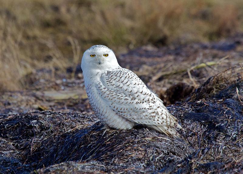 Snowy Owl (David Syzdek)