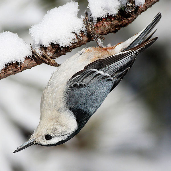 White-Breasted Nuthatch (Mdf)