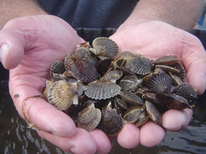 Juvenile scallops to be released