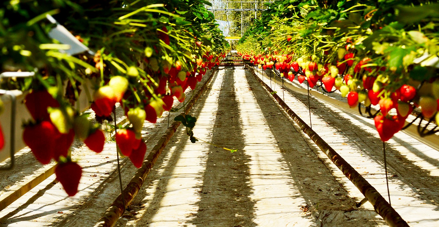 May. - The strawberry season is in full swing at Berries Direct Farming