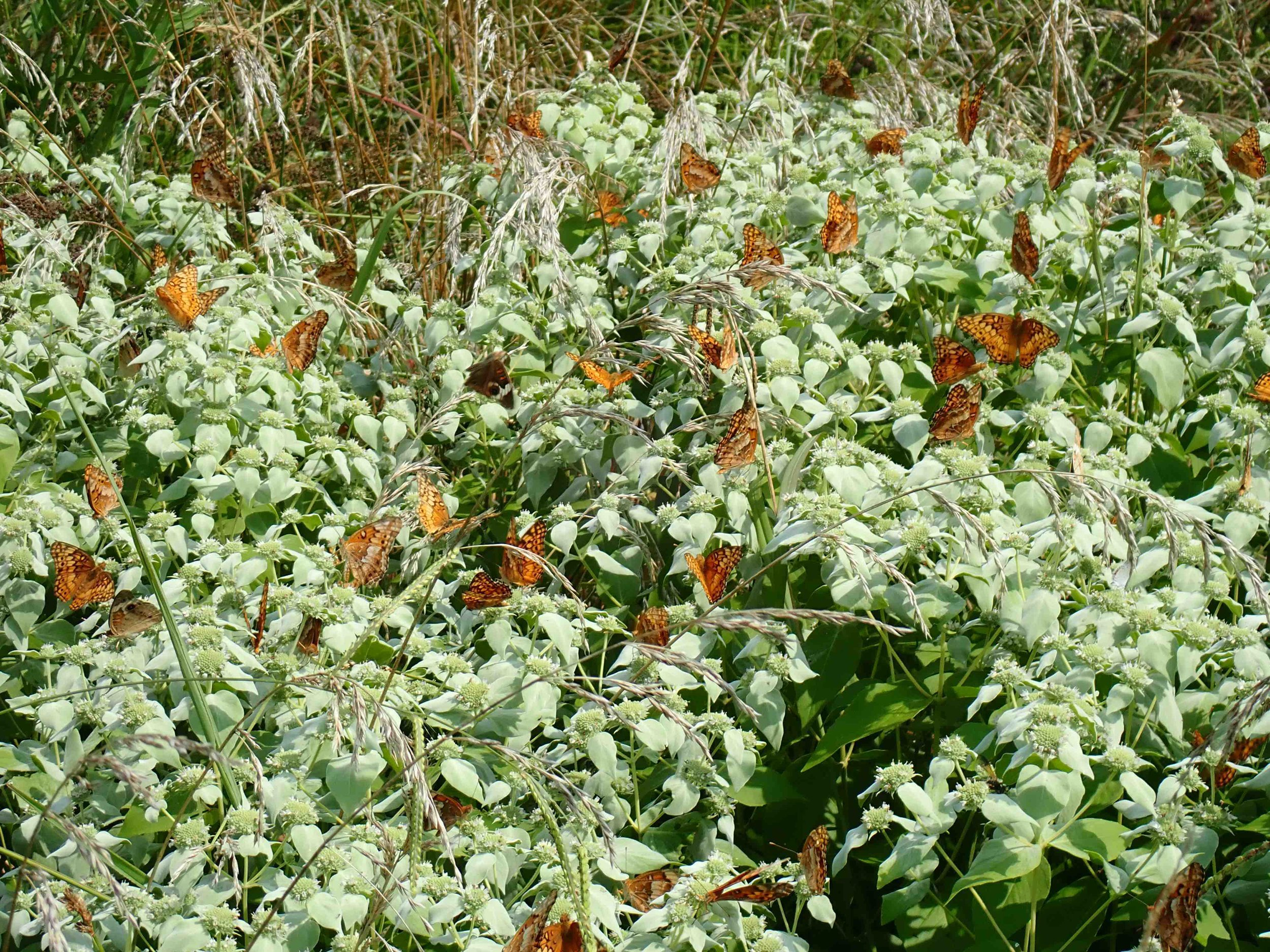 Mountain-mint plant covered with over 30 Variegated Fritillary and at least two Common Buckeye butterflies. Photo by Kevin Howe.