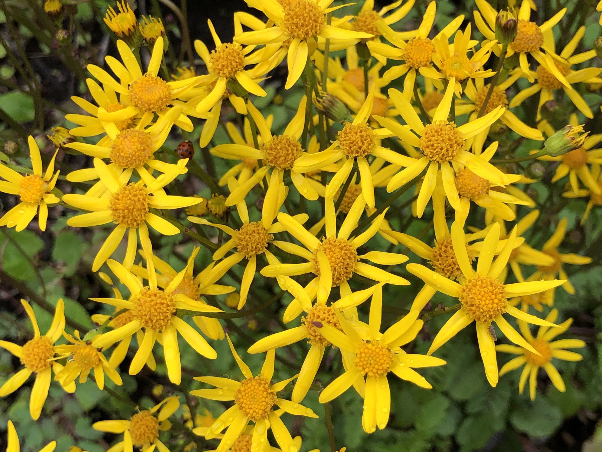 Close-up of Golden Ragwort blooms. Photo by Betsy Washington.
