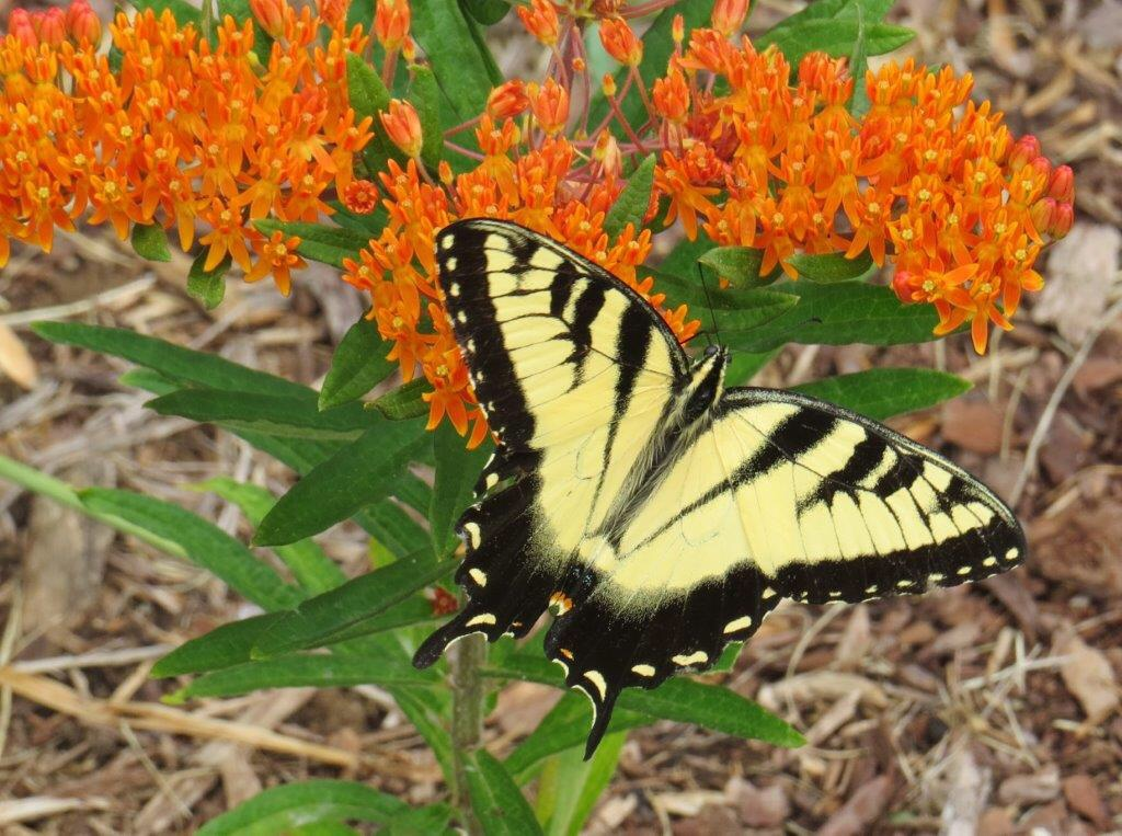 Eastern Tiger Swallowtail butterfly visiting a Butterfly-weed in bloom. Photo by Betsy Washington.