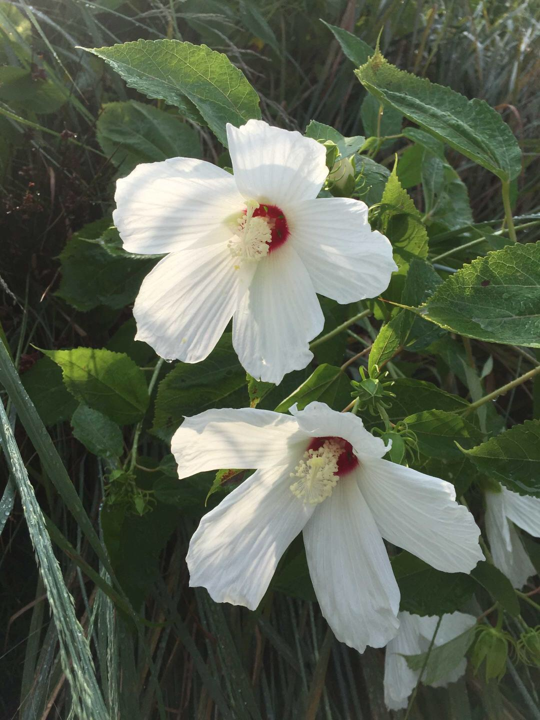 Swamp Rose-mallow (Hibiscus moscheutos). Photo by Betsy Washington