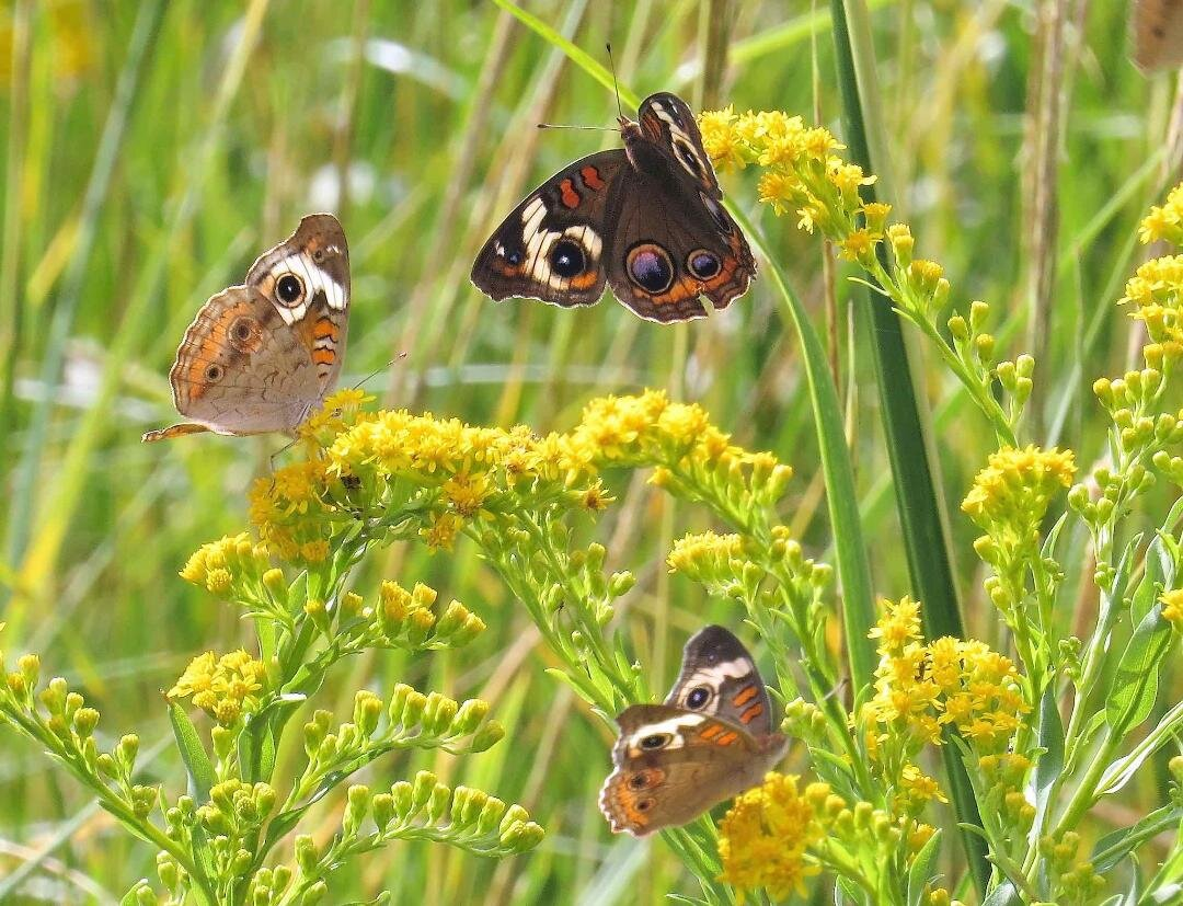 Buckeye Butterflies pollinating Coastal Goldenrod flowers. Photo by Betsy Washington