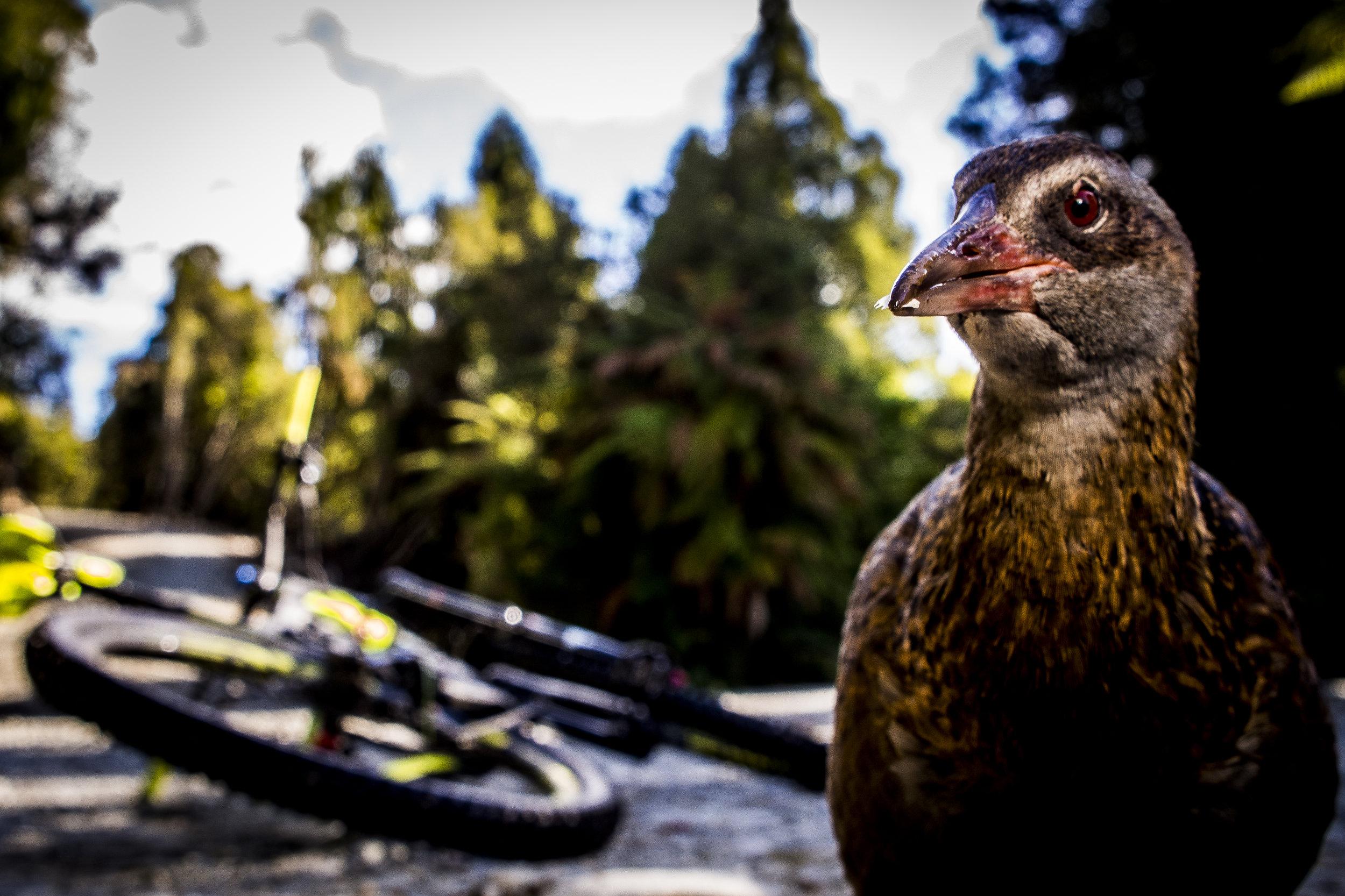 nzmtb_oldghost_bird.JPG