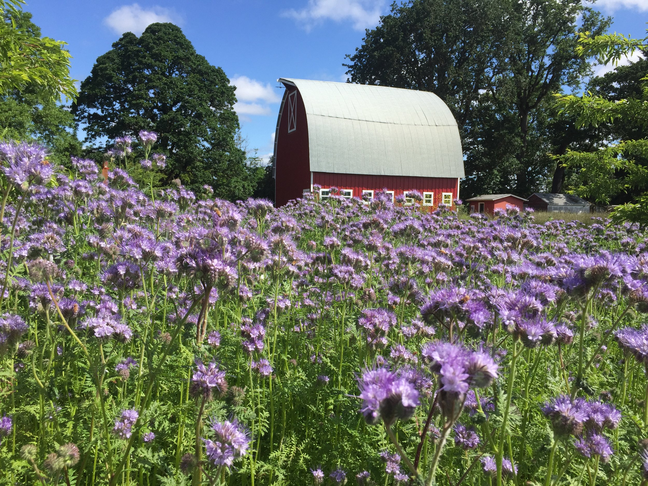 Patch of bee-friendly phacelia. Photo by Michael O'Loughlin.