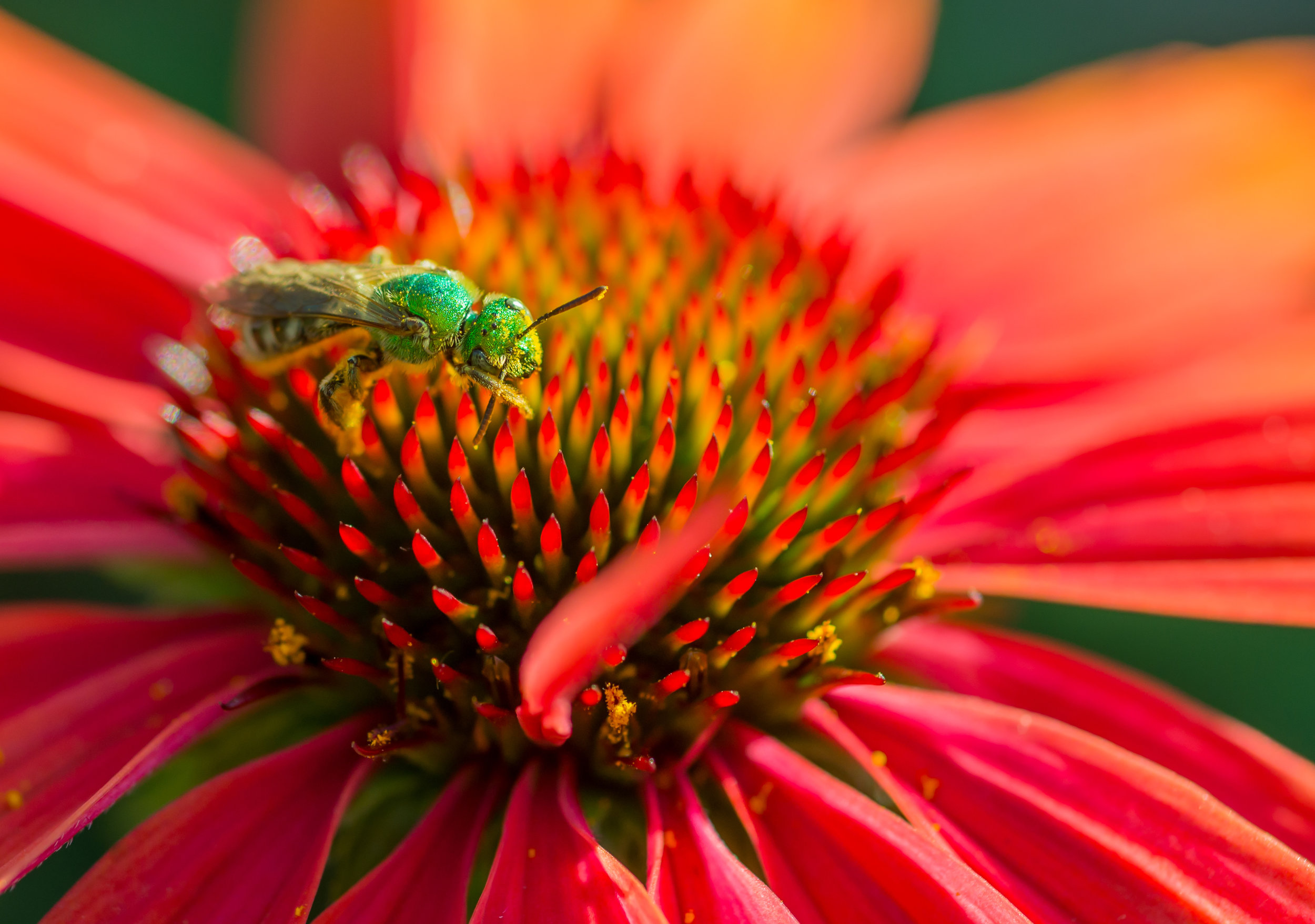 Agapostemon-on-coneflower.jpeg