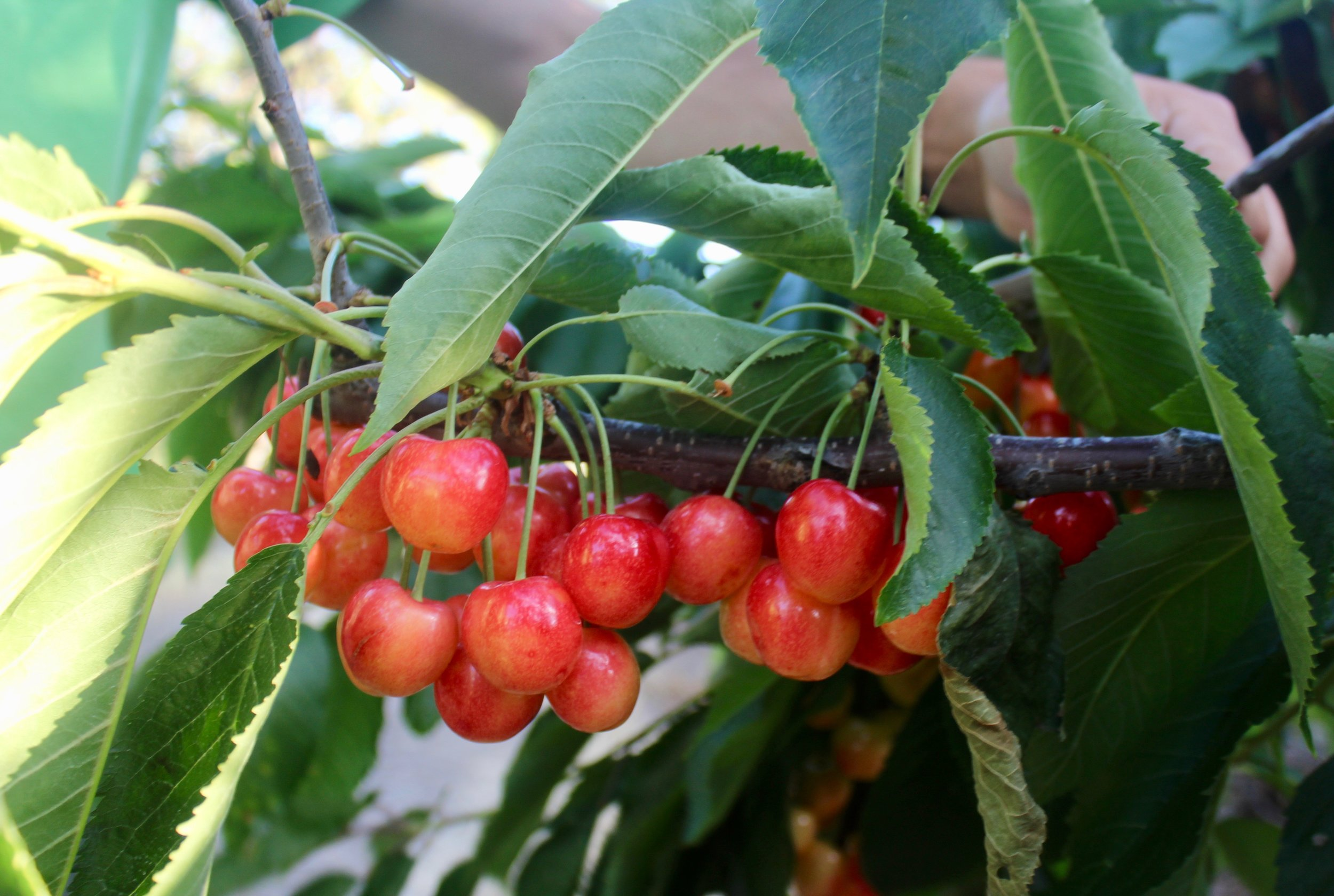 Early Robin cherries grown in The Dalles. Varieties like Early Robin are self-compatible and require honey bees or mason bees to move pollen from a neighboring compatible pollen donning tree (pollinizer) to set fruit. Early Robin is a sweeter than 'Rainier' and relatively firm - a great Oregon cherry! Photo Credit: Molly Alloy.