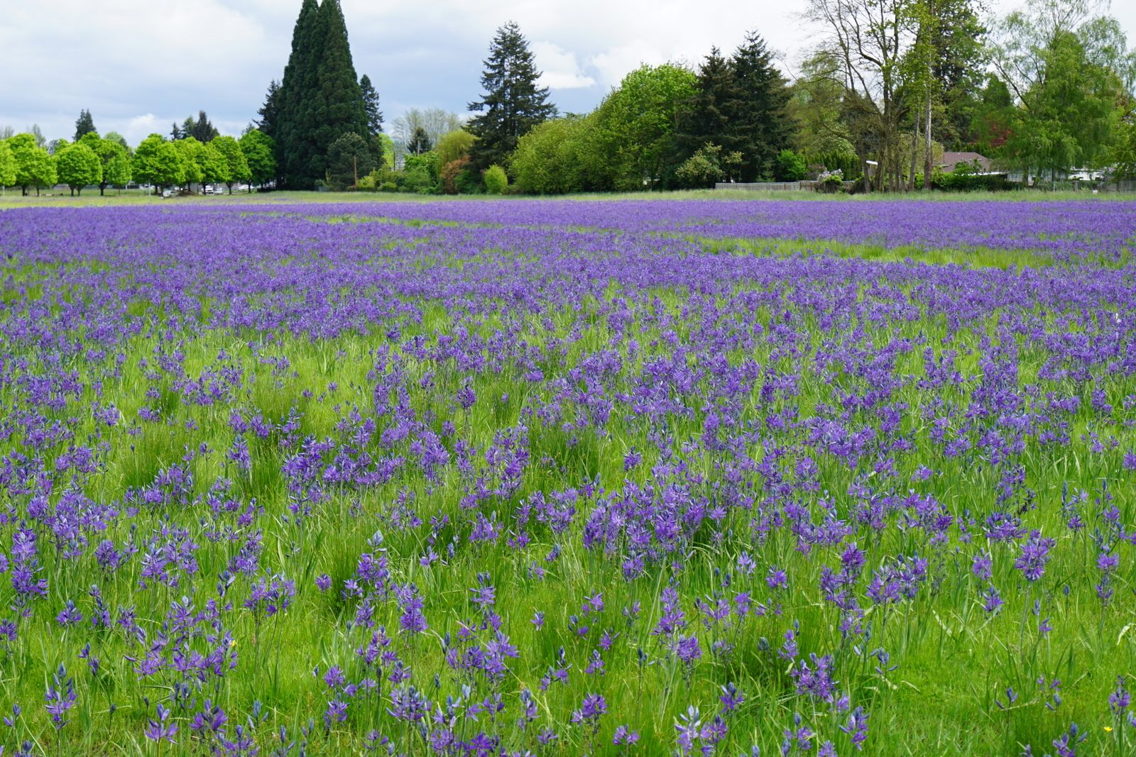 Stephanie Hazen observing the remarkable camas bloom happening now in the Willamette valley. It certainly would be wonderful to get an inventory of the visitors while the bloom continues into the next week.