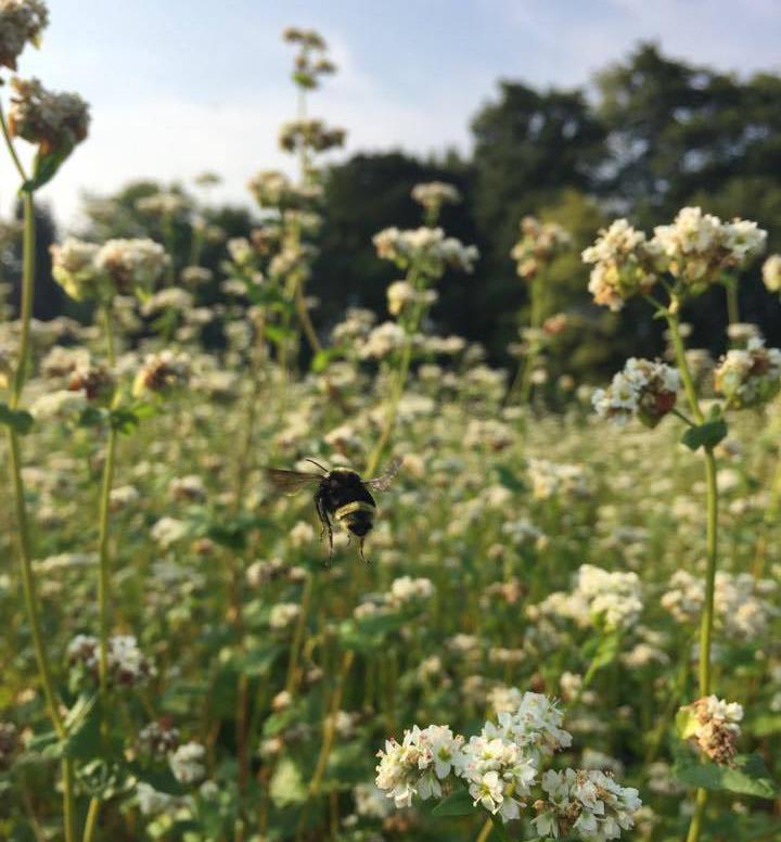Buckwheat-crop.jpg