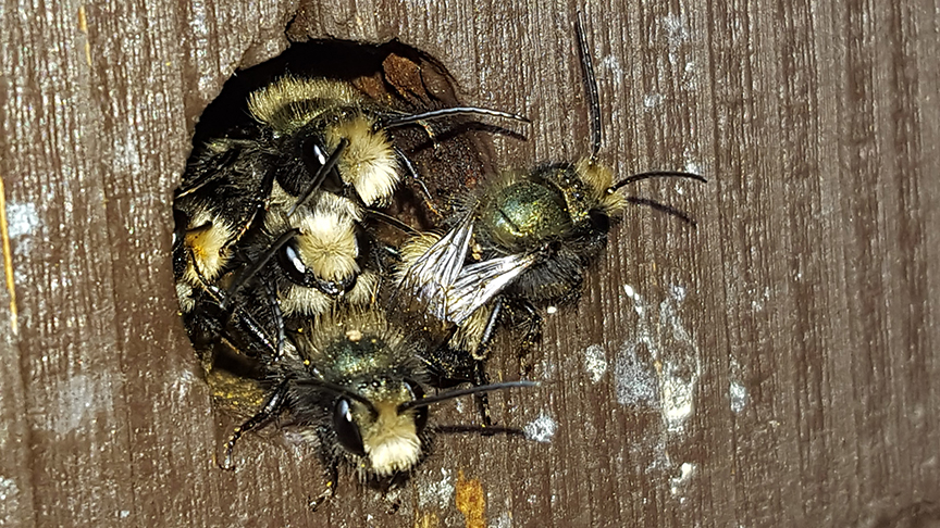Mason Bee males in an aggregation in a wooden post in Sweet Home, OR 6 April 2017. Photo Credit Richard Little.