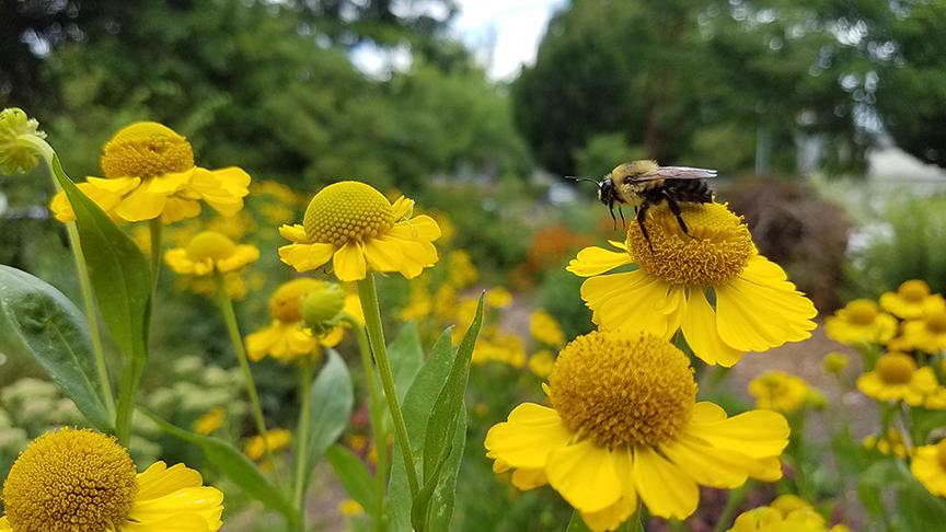 Photo credit Oregon Bee Project.