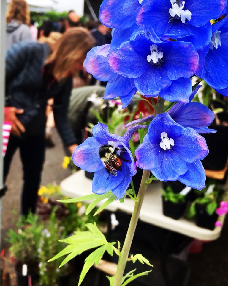 Leslie Davis catches a brilliant pic of Bombus melanopygus on a delphinium at the Eugene Farmers Market.