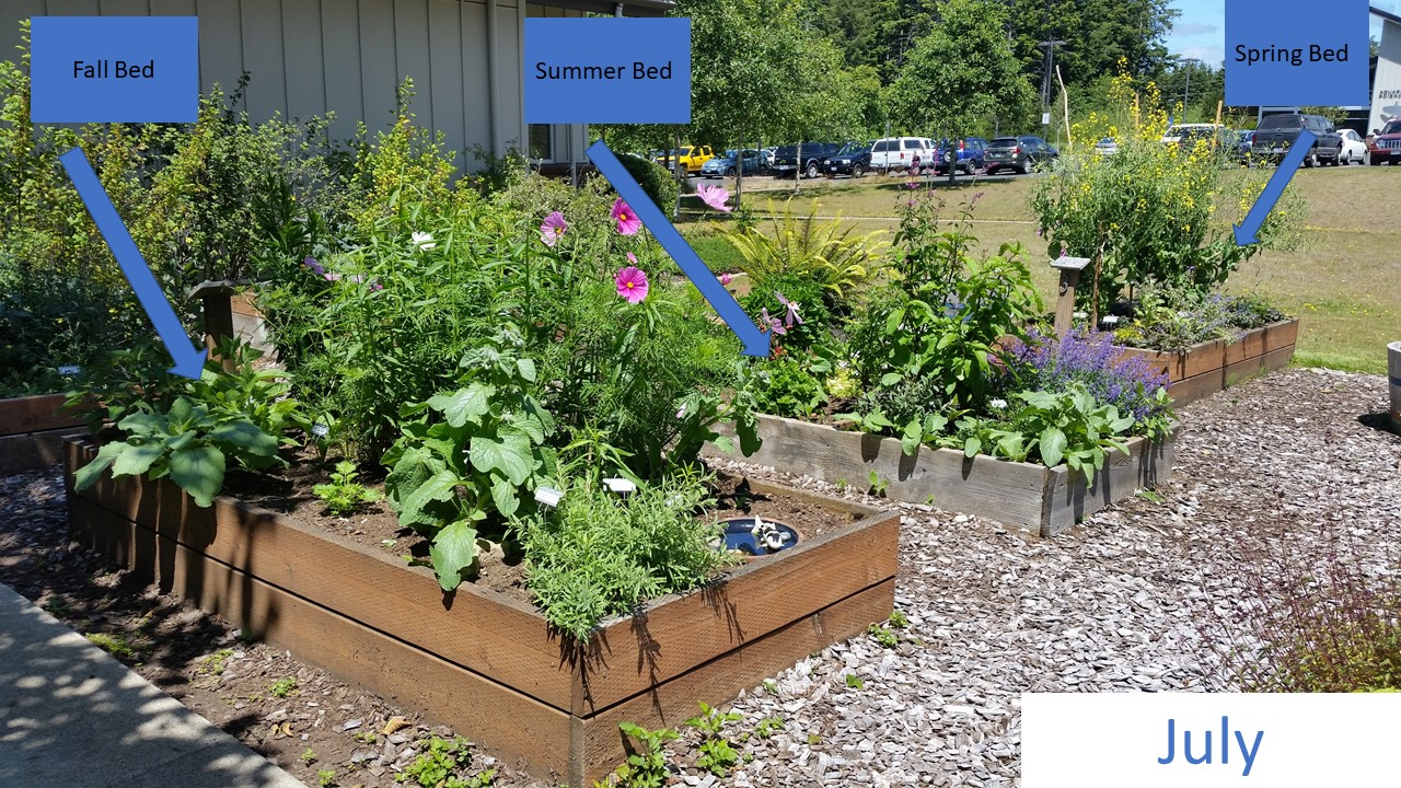 Early July – View of the beds is reversed from the image above. The majority of pollinator activity at the time were on the kale in the spring bed and the catmint and 'tutti frutti' hyssop (tall, dark pink flowers), both in the mint family, were popular in the summer bed. You can tell that plants pay more attention to the weather and climate, not our 'spring' and 'summer' labels; the kale plants just kept blooming and exceeded all expectations.