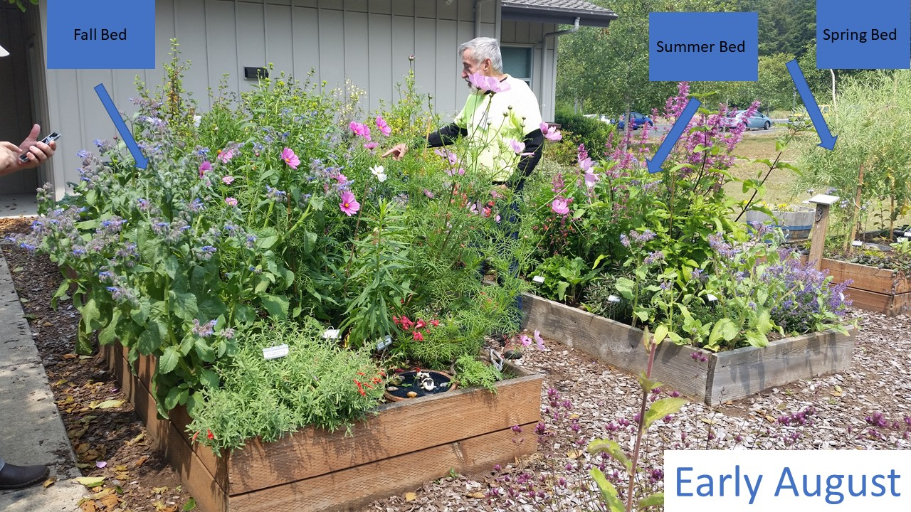 Early August – The summer and fall blooming beds were at their peak! Catmint, 'tutti frutti' hyssop and borage (the shorter blue flowers) were attracting the most bees in the summer bed while cosmos (the large round flowers with pink petals and yellow centers) attracted the most pollinators in the fall bed. At this point, the spring bed was done blooming and the kale was heavy with seeds.