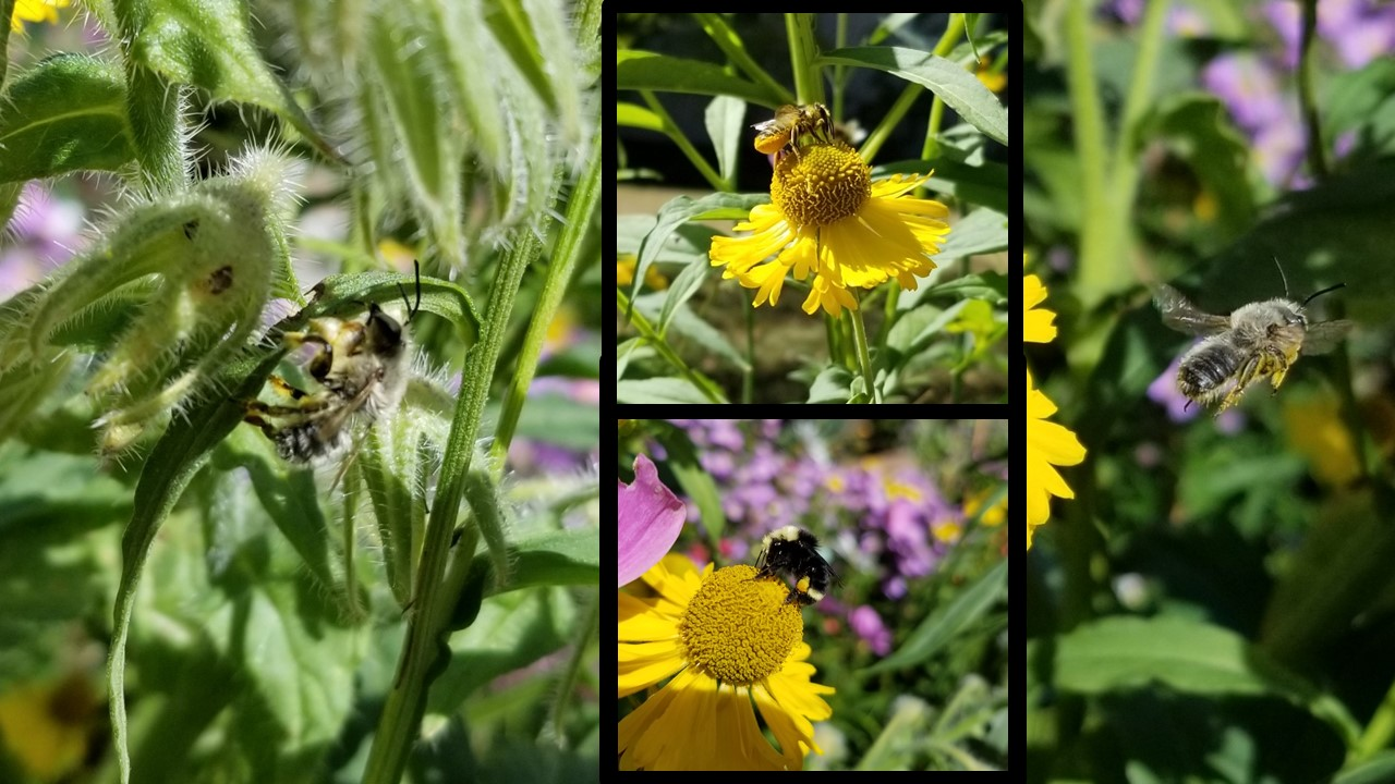 These photos were taken in mid-September. These bees are loving these yellow blooms, part of the sneezeweed plant, which are actually composite flowers: what we consider one flower is actually hundreds of tiny flowers where the colorful petals radiate from. Can you see the tiny yellow flowers?