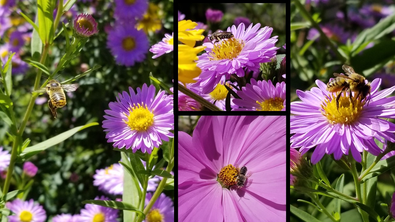 These photos were also taken in September, of aster and cosmo flowers, both in the aster family and also composite flowers. The bees take pollen and nectar from each of these tiny flowers!