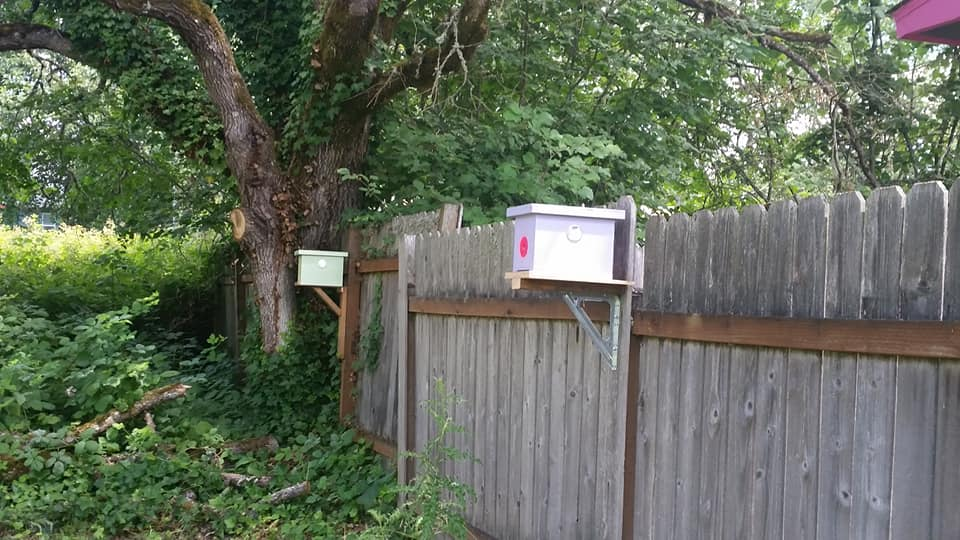 """For the past month there have been a lot of calls to the Oregon Bee Project about bumble bees nesting in places that cause a nuisance for homeowners.Atlas member Steve Gomes saw an opportunity and offered to relocate the colonies to his """"bumblebee haven"""". Moreover, he is not charging for this service but is requesting people make a donation to the Oregon Bee Project. On so many levels this is a good idea. Great work Steve!"""