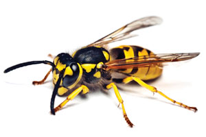 Yellow jackets ( Vespula  spp.) are not bees. They are social wasps. Like bumble bees, single mated queens overwinter and begin building paper nests in the spring. These nests can be exposed or be located in the ground. These wasps can be aggressive far from the nest. The nests typically disband by October and November.