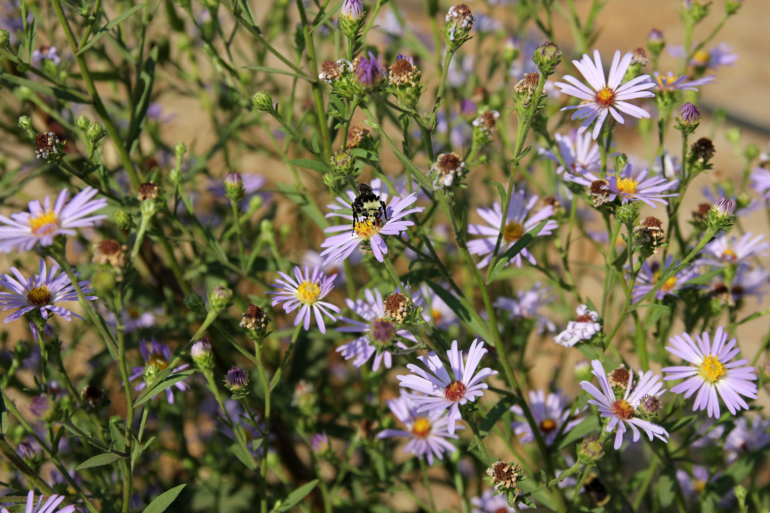 """These flowers are absolutely covered in pollinators when they're blooming."""