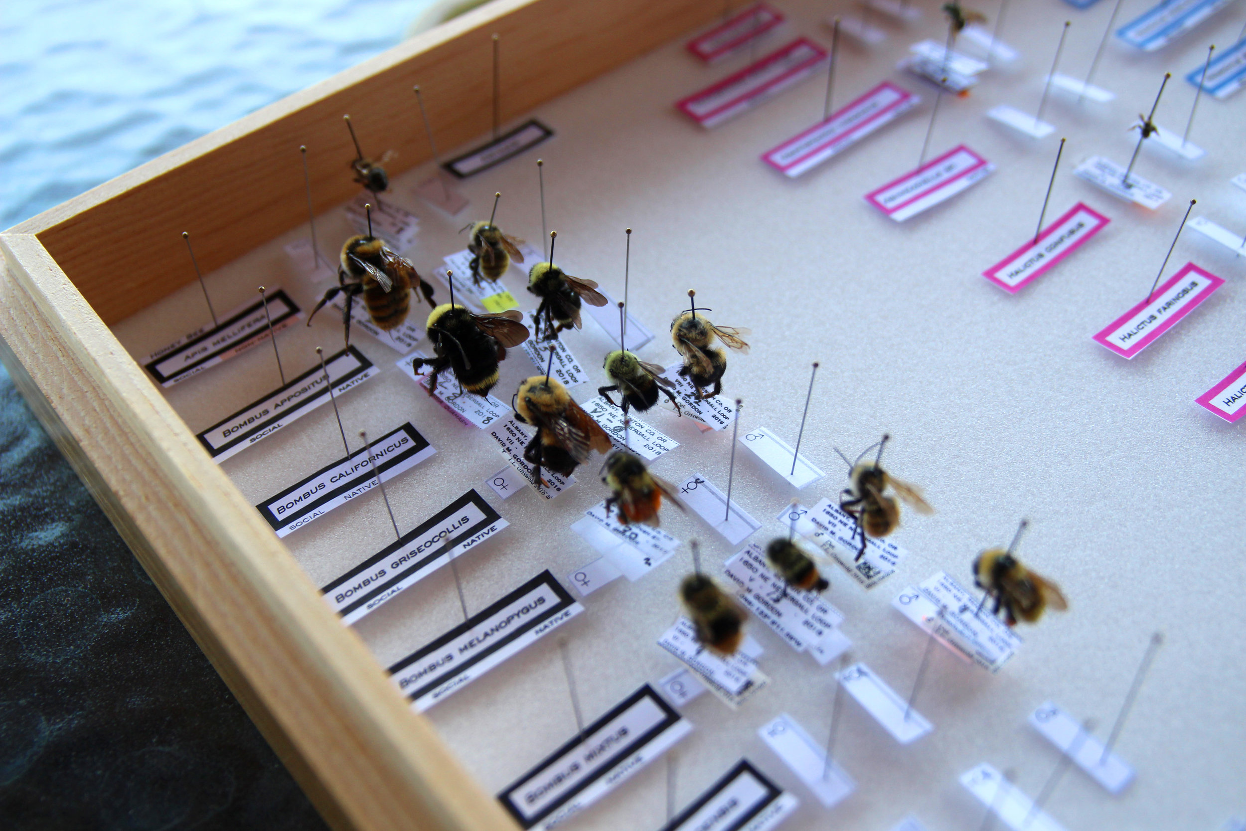 A collection of some of the bees found on Kenagy's farm.