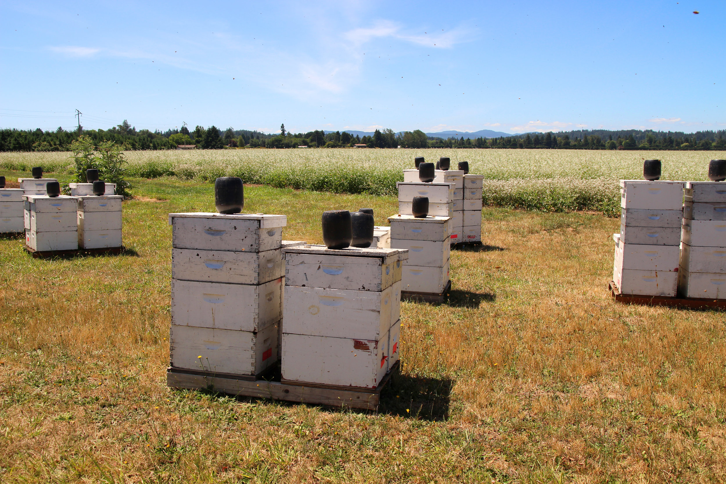 Honey bee colonies are used for pollinating radishes on the farm.