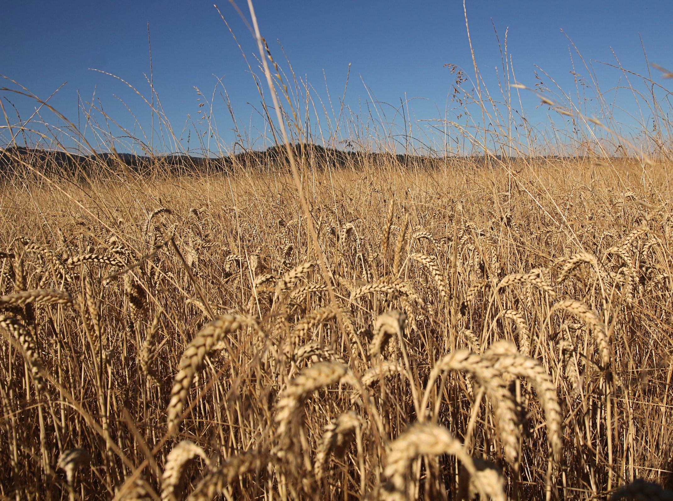 Grass seed on the Mulkey farm.