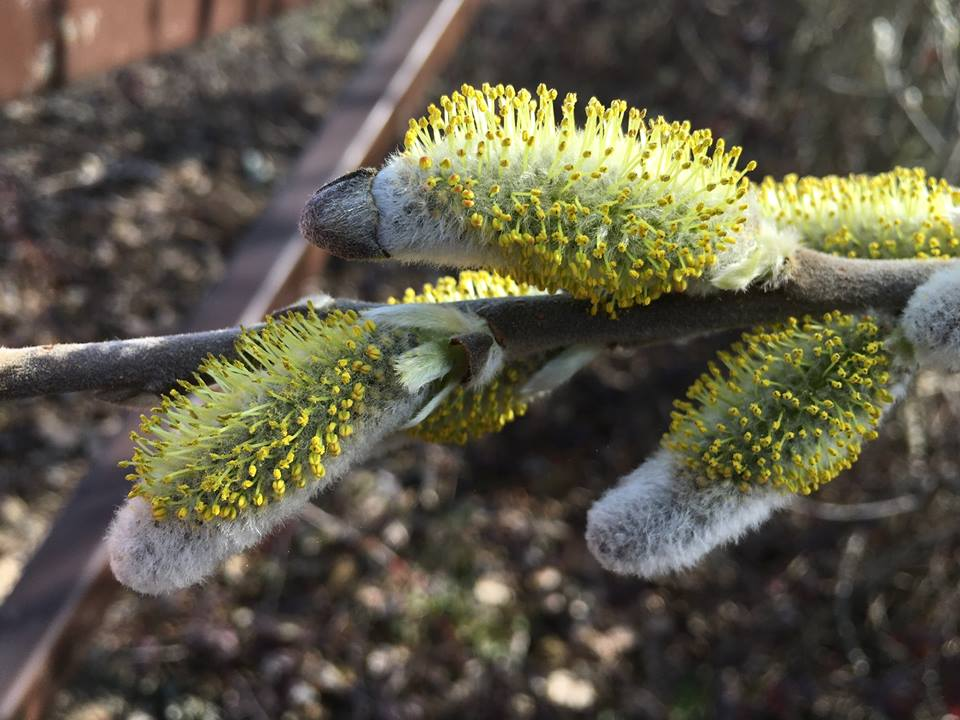 """Julie Biddle noted that on March 11 """"Less than five percent of Sitka (?) willows have anthers"""". Ankeny wildlife refuge near Salem."""