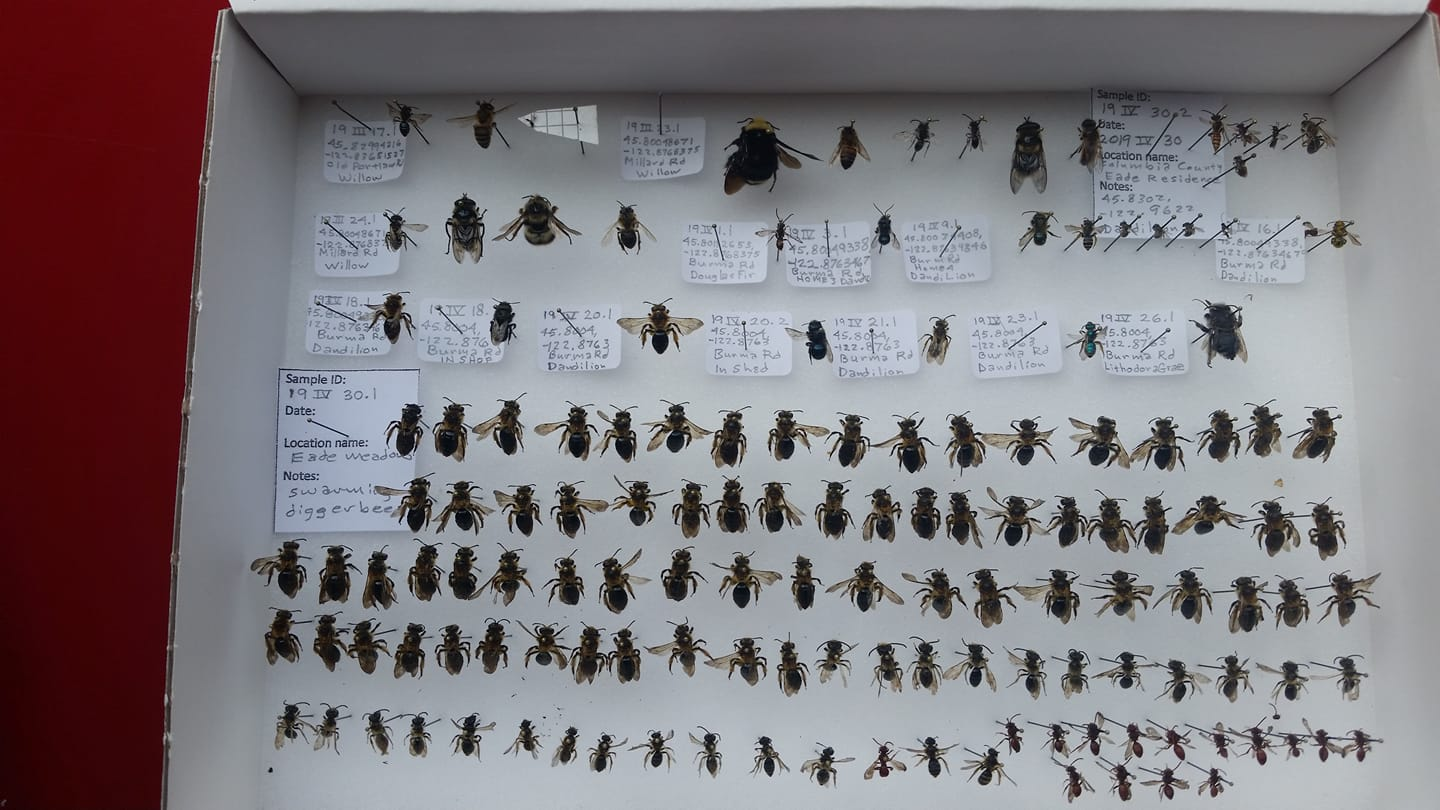 Max Havlik's collection is featured in this week's training video. Its also a great example of how its getting easier and easier to catch bees as the season advances!!!!