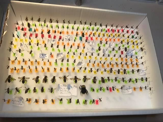 "Dan O'Loughlin came up with these genera tags so he can quickly sort our bees into boxes once the labels come. His brother Michael writes ""we have got it down to less than 10 sec to get the genus while we are pinning. It will cut down on how many times we handle the bees""."